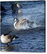Everyone Duck Canvas Print