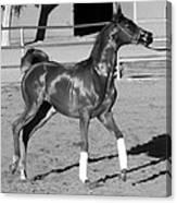 Exercising Horse Bw Canvas Print