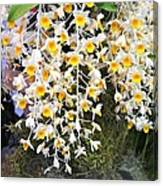 Exotic Aerides Canvas Print