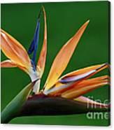 Exotic Bird Of Paradise Canvas Print