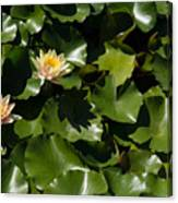 Exotic Colored Waterlilies In The Hot Mediterranean Sun Canvas Print