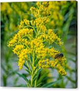 Exploring Goldenrod 3 Canvas Print