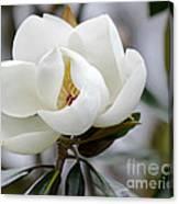 Exquisite Magnolia Canvas Print