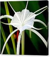 Exquisite Spider Lily Canvas Print
