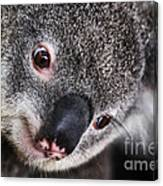 Eye Am Watching You - Koala Canvas Print