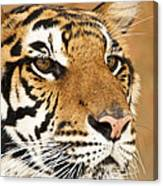 Eye Of The Tiger. Canvas Print