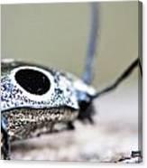 Eyed Click Beetle Canvas Print