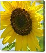 Face To Face With A Sunflower Canvas Print