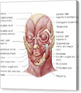 Facial Muscles Of The Human Face Canvas Print