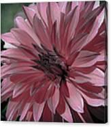 Faded Pink Dahlia Canvas Print