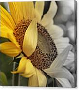 Faded Sunflower Canvas Print
