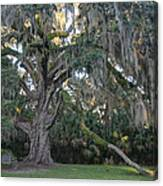 Fairchild Oak With Sunbeam Canvas Print
