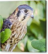 Falcon At Rest Canvas Print