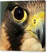 Falcon Focus Canvas Print