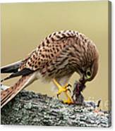 Falcon's Breakfast  Canvas Print