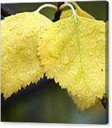 Fall Aspen Leaves After A Rain Canvas Print