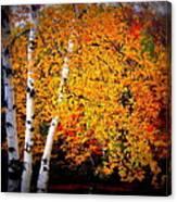 Dazzling Birch Canvas Print