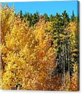 Fall Colors On The Colorado Aspen Trees Canvas Print