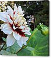 Fall Dahlia Canvas Print