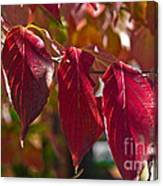 Fall Dogwood Leaves Canvas Print