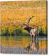 Fall Elk Reflection Canvas Print