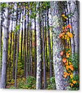 Fall Ivy In Pine Tree Forest Canvas Print