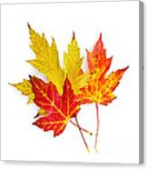 Fall Maple Leaves On White Canvas Print