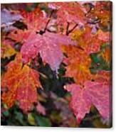 Fall Maples Canvas Print