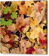 Fall Maples Canvas Print