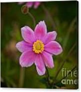 Fall Pink Daisy Canvas Print