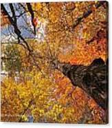 Fall Poplar Leaves Yellows Oranges 2899 Canvas Print