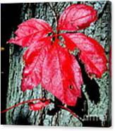 Fall Red Leaf Canvas Print