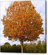 Fall Sugar Maple Canvas Print