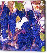 Fall Wine Grapes Canvas Print