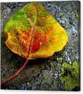 Fallen Autumn Aspen Leaf Canvas Print