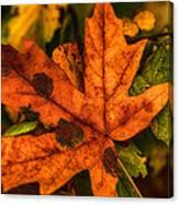Fallen Maple Leave Canvas Print
