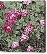 Fallin' Roses Canvas Print