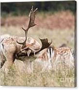 Fallow Deer - Amazing Antlers Canvas Print