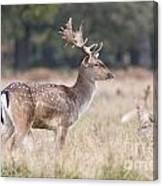Fallow Deer Buck On Guard  Canvas Print