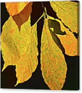 Fall's Purest Gold Canvas Print