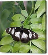 False Diadem Butterfly Canvas Print