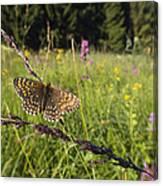 False Heath Fritillary In Meadow Bavaria Canvas Print