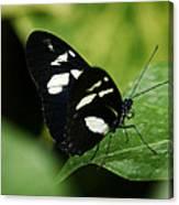 False Zebra Longwing Butterfly Canvas Print