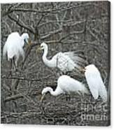 Family Affair Egrets Louisiana Canvas Print