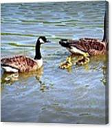 Family Of Geese Out For A Swim Canvas Print