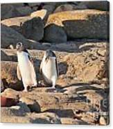 Family Of Nz Yellow-eyed Penguin Or Hoiho On Shore Canvas Print