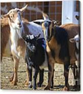Fancy Goats Canvas Print