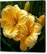 Fancy Yellow Daylilies Canvas Print