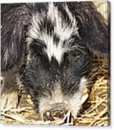 Farm Pig 7d27361 Canvas Print
