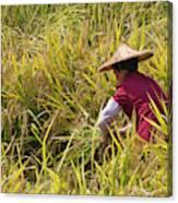 Farmer Harvesting Rice On The Terrace Canvas Print
